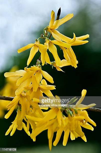 Lovely yellow forsythia