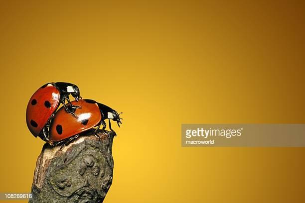 Amoroso cada outros Ladybugs