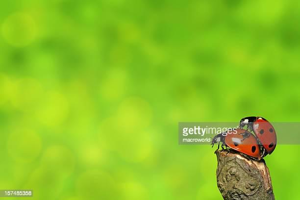 liebevoll anderen ladybugs - begattung kopulation paarung stock-fotos und bilder