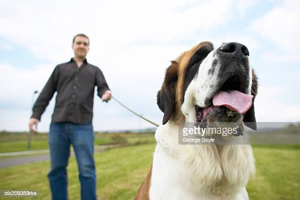 low angle blurred view of a man walking a st. bernard