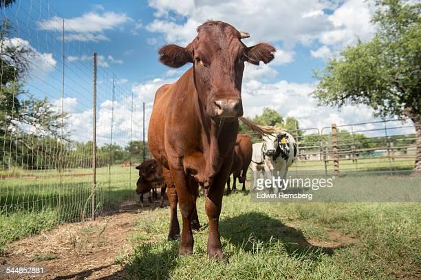 low angle cattle - 家畜柵 ストックフォトと画像