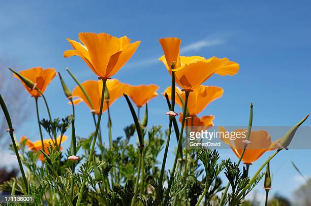 low angle close-up of blooming california poppy wildflowers - california golden poppy stock pictures, royalty-free photos & images
