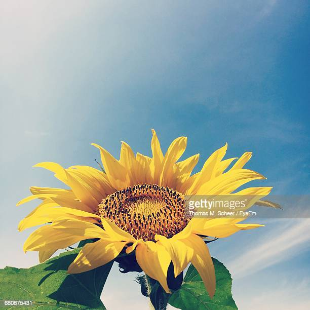 Low Angle Close-Up Of Sunflower Blooming Against Sky