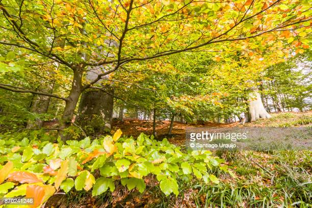 Low angle of beech trees in fall