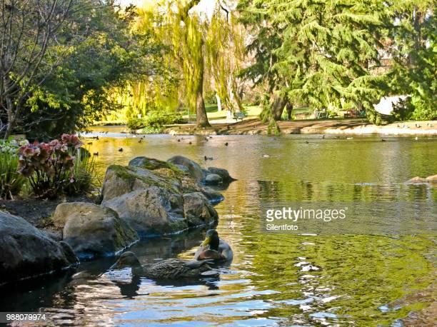 Low Angle of Mallard Ducks on Reflective Lake, Beacon Hill Park, Victoria BC