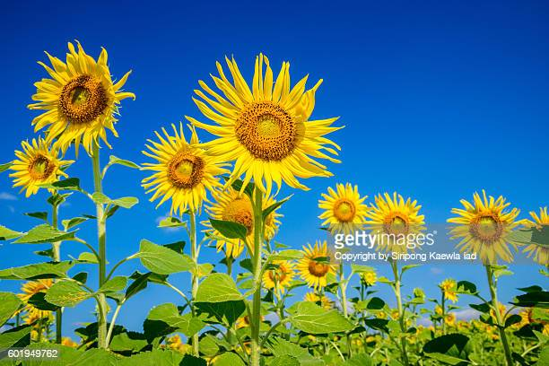Low angle of sunflowers with blue sky in background in Thailand