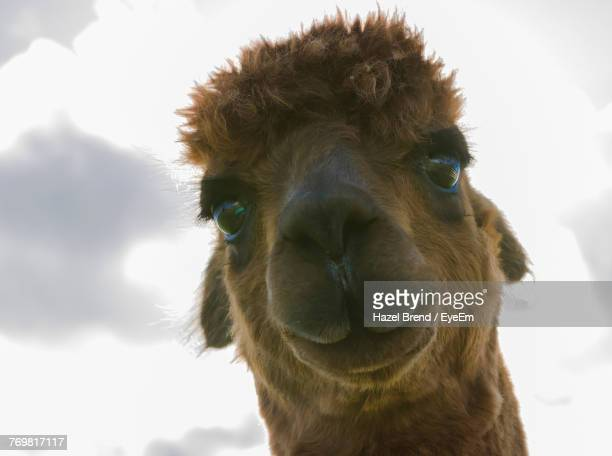 low angle portrait of alpaca against sky - llama stock pictures, royalty-free photos & images
