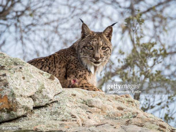 Low Angle Portrait Of Iberian Lynx Sitting On Rock At Donana National Park