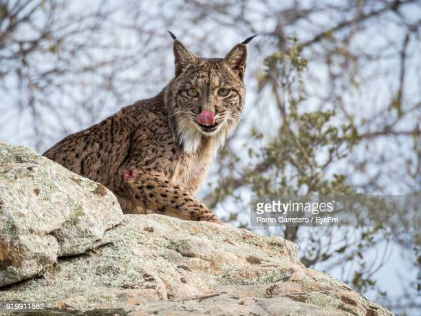 low angle portrait of iberian lynx sitting on rock at donana national park - donana national park stock photos and pictures