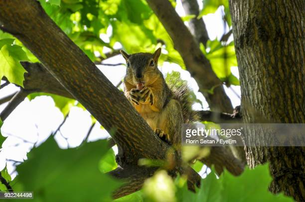 low angle portrait of squirrel on tree - florin seitan stock pictures, royalty-free photos & images