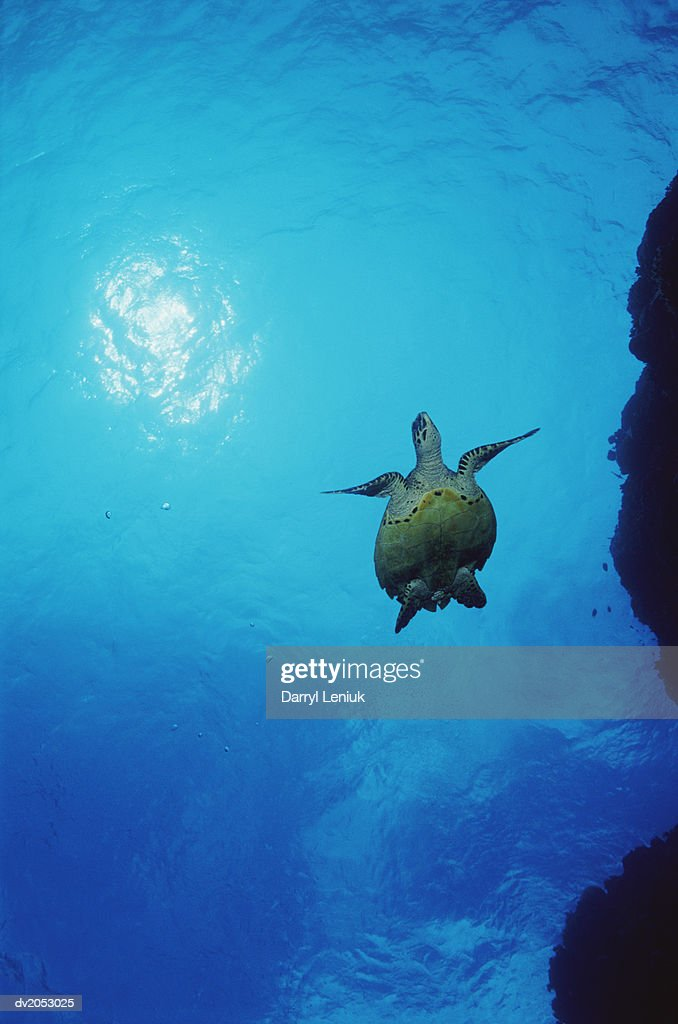 Low Angle Shot of a Swimming Loggerhead Turtle : Stock Photo
