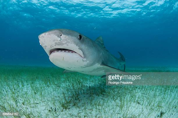 low angle underwater view of tiger shark swimming near seagrass covered seabed, tiger beach, bahamas - tiger shark stock pictures, royalty-free photos & images
