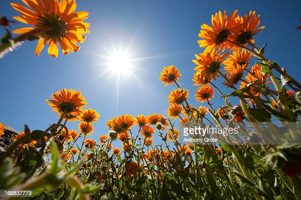 a low angle view facing up towards the sun of yellow arctotis spp flowers, basically taken from beneath the flowers, south africa - ナマクワランド ストックフォトと画像