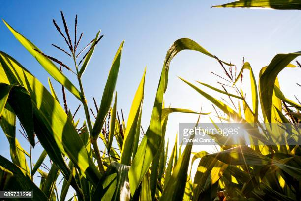 Low angle view in a corn field in Galicia (Spain)