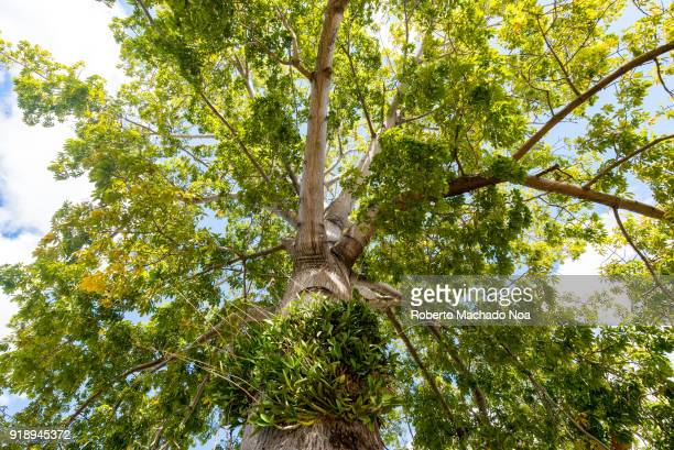 Low angle view of a Ceiba Tree The tree has diverse symbolic meanings in the Cuban culture