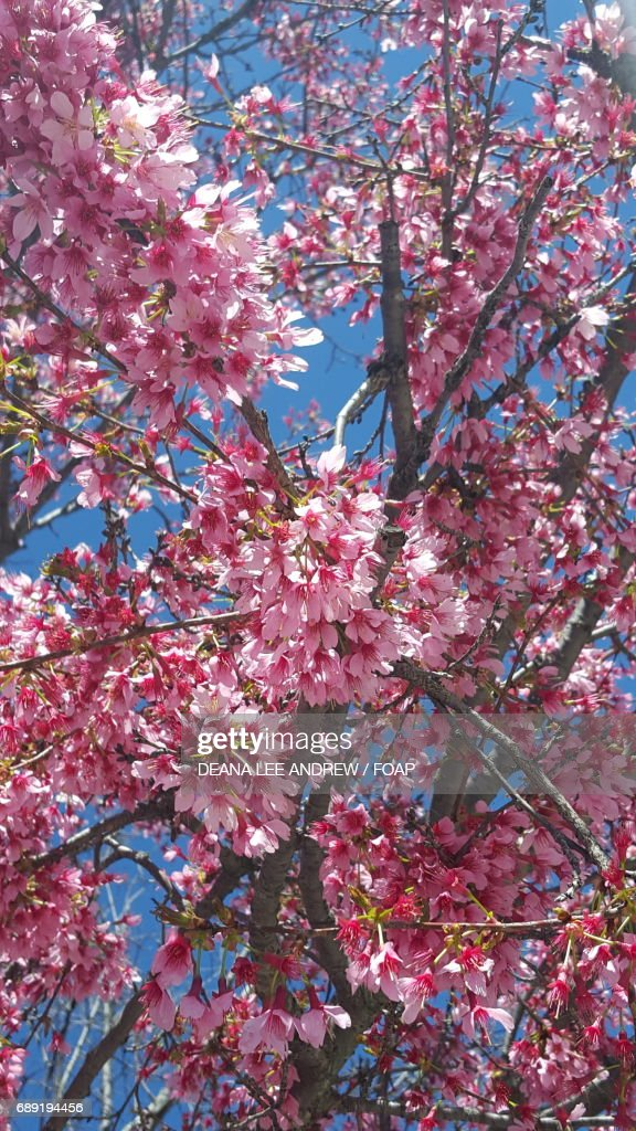 Low angle view of a cherry blossom tree : Stock Photo