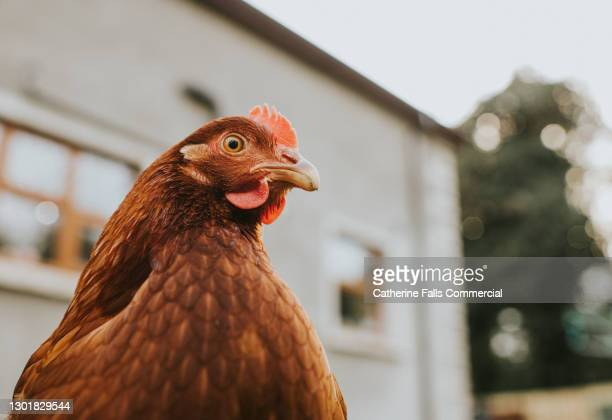 low angle view of a chicken - animal stock pictures, royalty-free photos & images