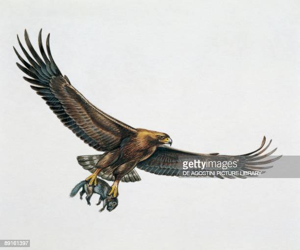 Low angle view of a golden eagle gripping a rat