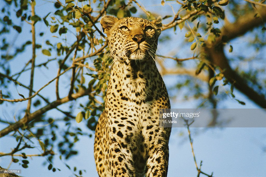 Low Angle View of a Leopard : Stock Photo