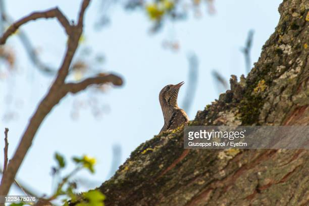 low angle view of a lizard on tree - nightingale stock pictures, royalty-free photos & images