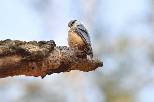 Low Angle View of a Nuthatch - gettyimageskorea
