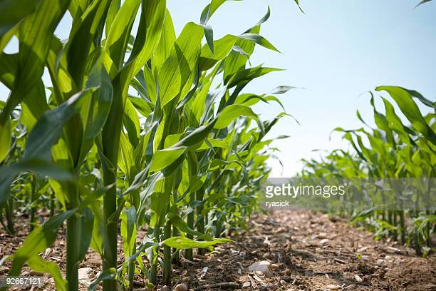 low angle view of a row of young corn stalks - corn stock pictures, royalty-free photos & images