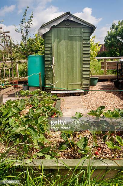 A low angle view of a slightly raised bed growing strawberries on straw in front of a water butt and tool shed on an urban allotment in the city of...