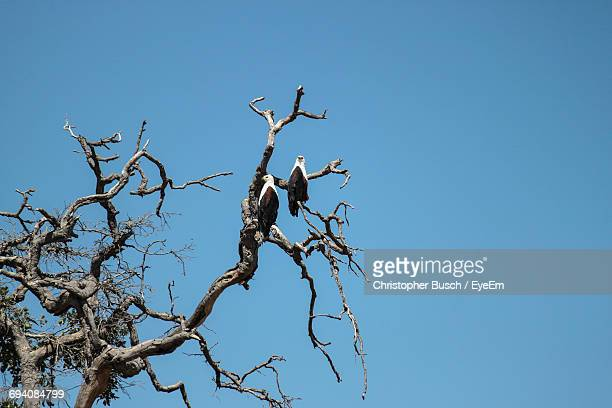Low Angle View Of African Fish Eagles Perching On Bare Tree Against Clear Blue Sky