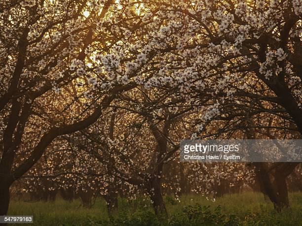 Low Angle View Of Almond Tree On Grassy Field