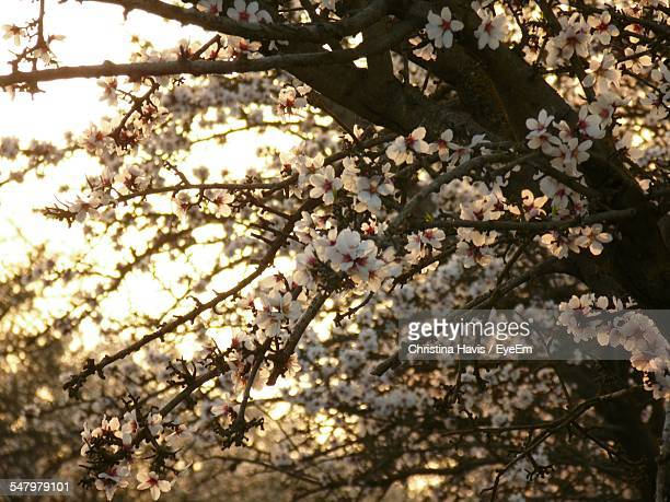 low angle view of almond tree - almond orchard stock photos and pictures