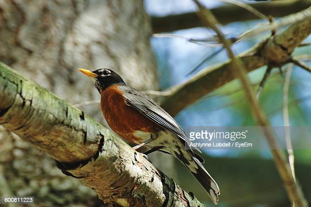 low angle view of american robin perching on branch - american robin stock pictures, royalty-free photos & images