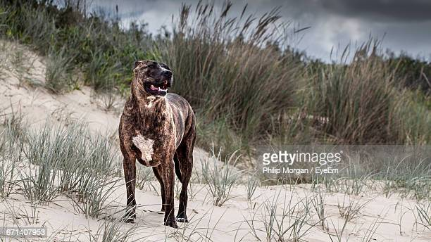 low angle view of american staffordshire terrier standing on sand - american staffordshire terrier stock photos and pictures