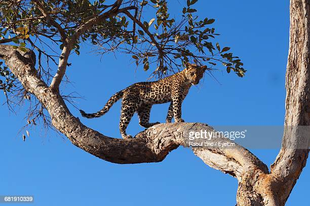 low angle view of an alert jaguar looking down from a tree - jaguar stock photos and pictures