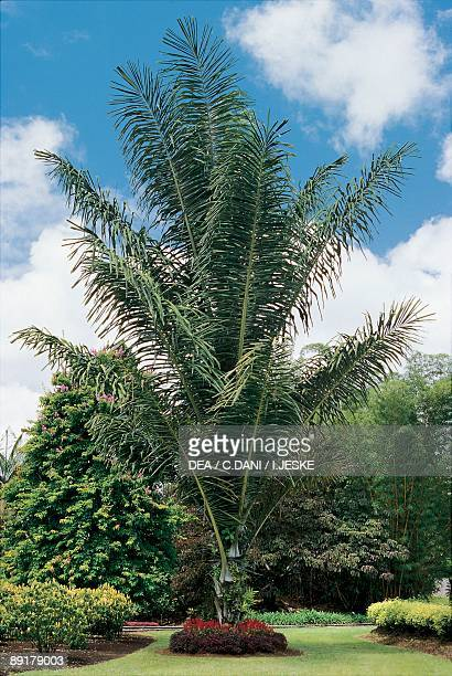 Low angle view of an Areca palm tree
