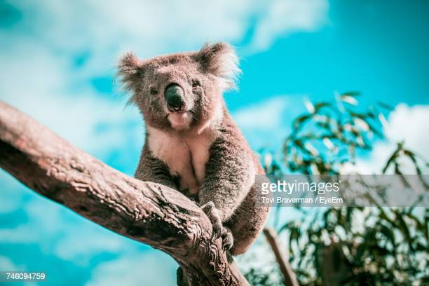 low angle view of animal sitting on tree - koala stock photos and pictures