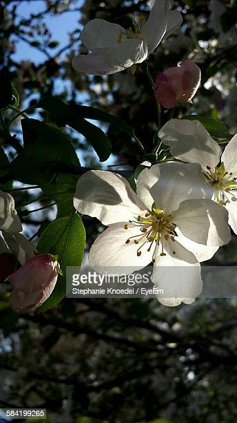Low Angle View Of Apple Blossom