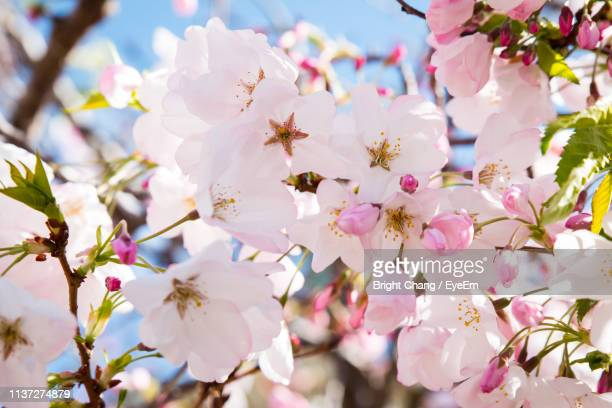 low angle view of apple blossoms during spring - apple blossom stock pictures, royalty-free photos & images