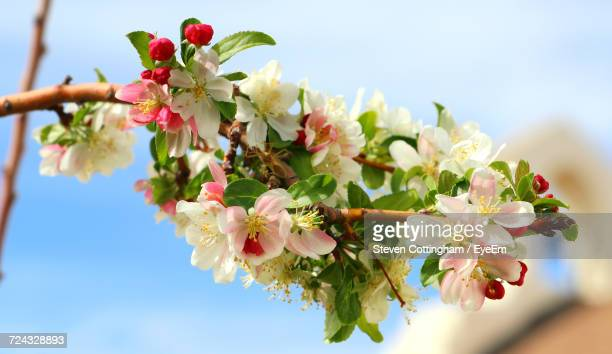 low angle view of apple blossoms in spring against sky - steven cottingham stock-fotos und bilder