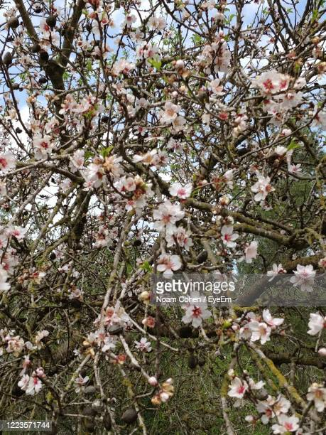 low angle view of apple blossoms in spring - noam cohen stock pictures, royalty-free photos & images
