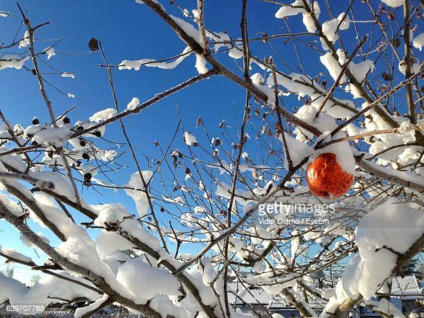 Low Angle View Of Apple Growing On Frozen Tree During Winter