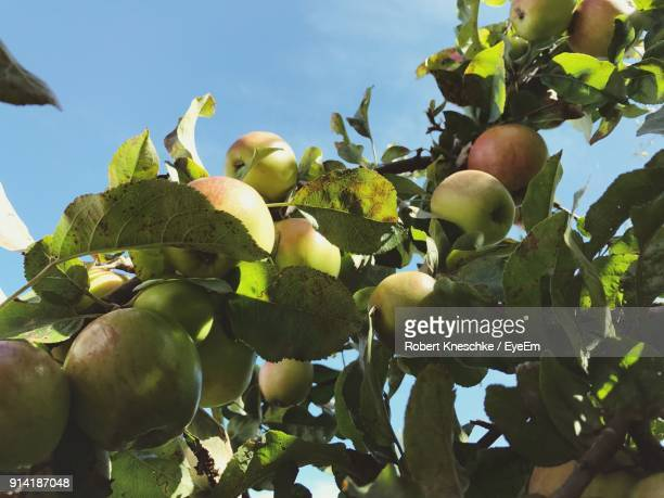 Low Angle View Of Apple Growing On Tree Against Clear Sky At Orchard