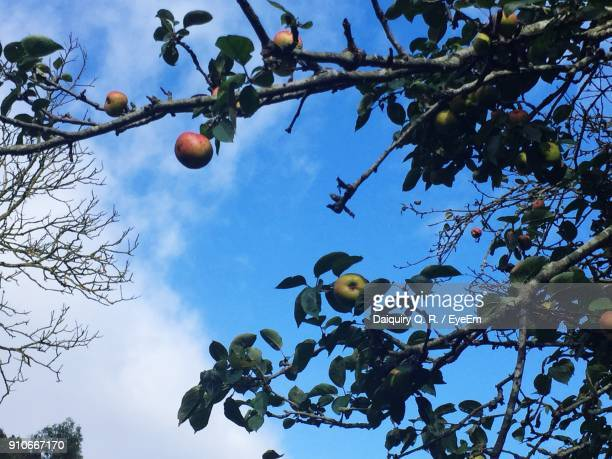 Low Angle View Of Apple Hanging On Tree Against Sky