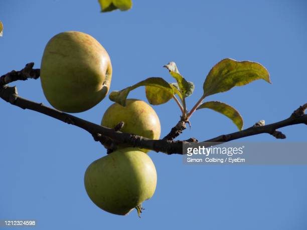 low angle view of apple on tree against sky - colbing stock pictures, royalty-free photos & images