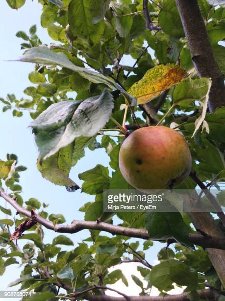 Low Angle View Of Apple On Tree