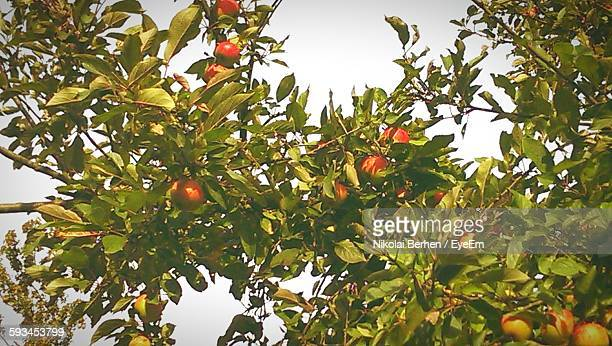 Low Angle View Of Apple Tree Against Sky