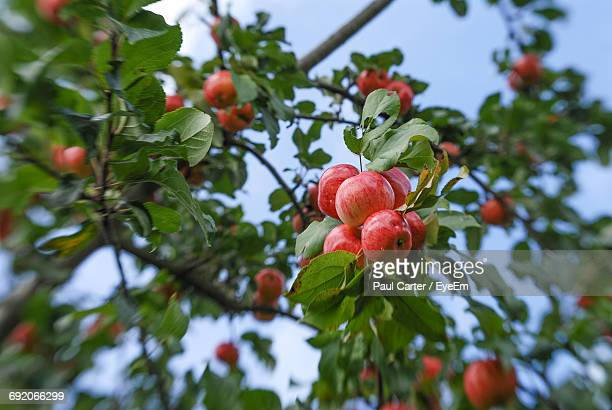 Low Angle View Of Apples Growing On Tree Against Sky