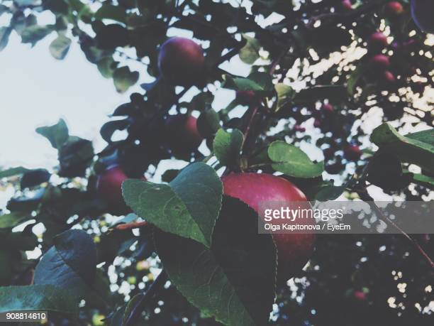 Low Angle View Of Apples Hanging On Tree