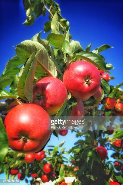 Low Angle View Of Apples On Branch