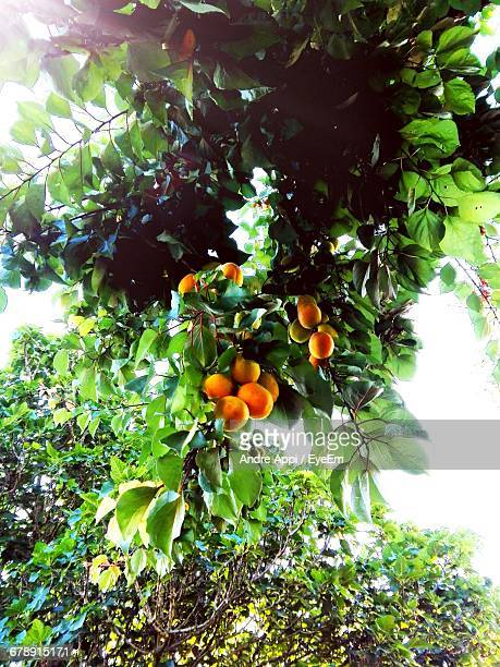 low angle view of apricot tree - apricot tree stock pictures, royalty-free photos & images