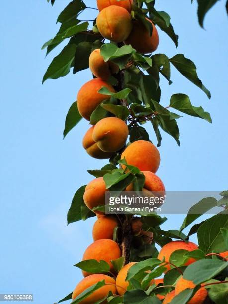 low angle view of apricots growing on tree against clear sky - apricot tree stock pictures, royalty-free photos & images
